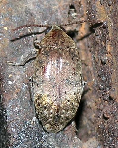 Beetle - P3186074 - Amblycerus robiniae
