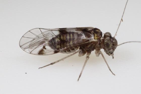 Indiopsocus bisignatus (Banks) - Indiopsocus bisignatus - female