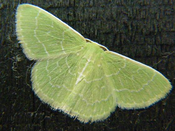 Southern Emerald - Synchlora aerata