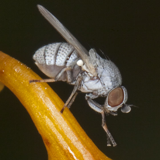 Fly IMG_6636 - Leucopis