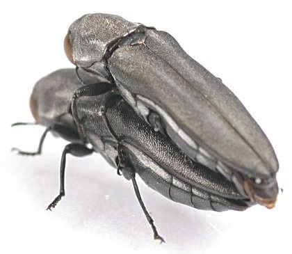 Buprestidae -  Agrilus? - Agrilus malvastri - male - female