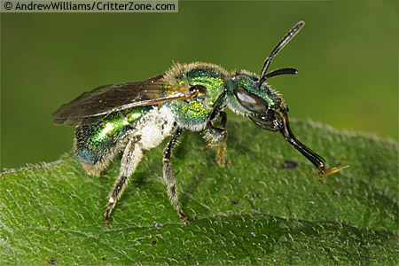 sweat bee showing mouth parts