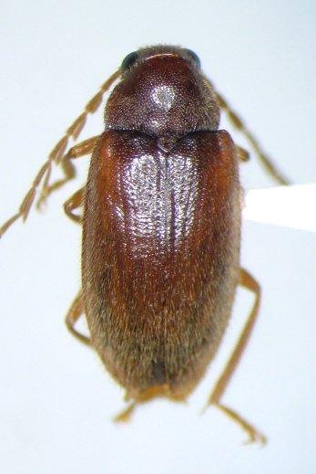 Ptilodactyla serricollis - male