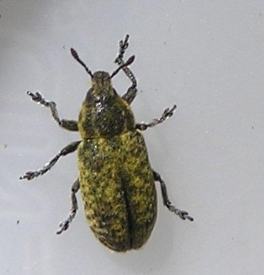 Weevil - Rhinocyllus conicus