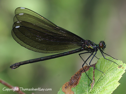 Jewelwing - Calopteryx maculata - female