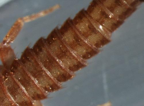 Tricholepidion gertschi (relict silverfish)  - Tricholepidion gertschi