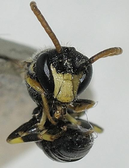 Hylaeus Bee (dead) - Hylaeus hyalinatus - male