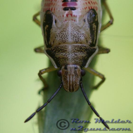 Rice Stink Bug nymph - Oebalus pugnax