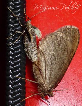 Winter Moth - Operophtera brumata - male - female