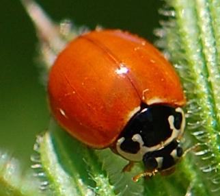 spotless lady beetle~polished ? - Cycloneda munda