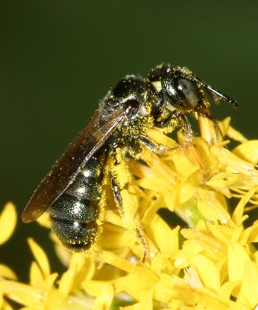 Small carpenter bee - Ceratina - female