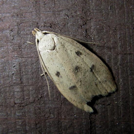 September moth - Machimia tentoriferella