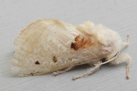Arizona Moth - Megalopyge lapena - female