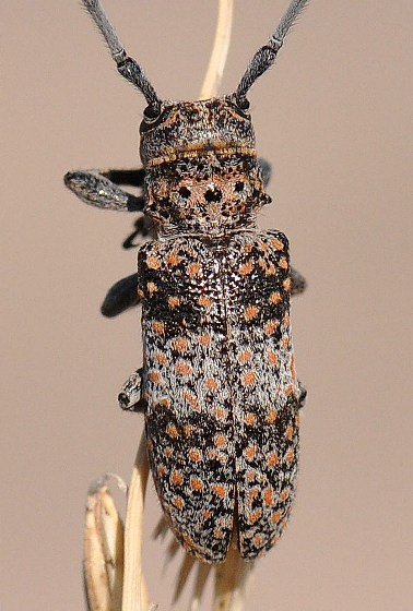 Mesquite Girdler - Oncideres rhodosticta