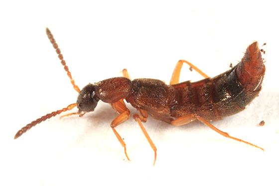 Rove Beetle - Drusilla canaliculata