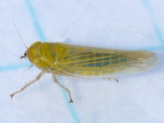 Leafhopper - Elymana sulphurella