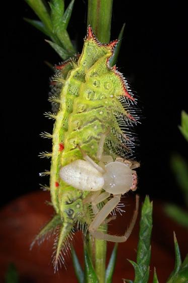crab spider w/ crowned slug caterpillar - Misumena vatia