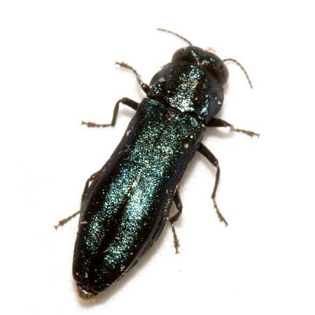 Metallic Wood-boring Beetle - Agrilus cyanescens