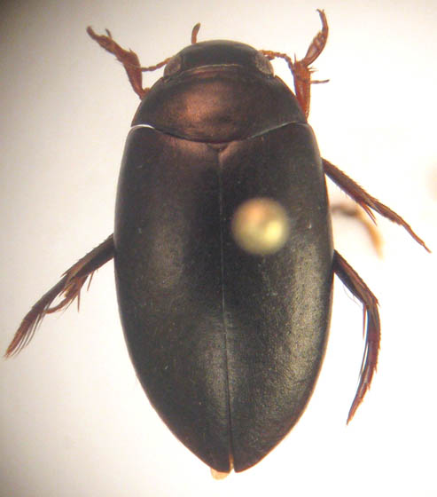 Agabus leptapsis (LeConte) - Agabus leptapsis - male