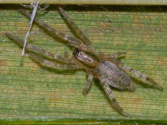 Little Green Spider