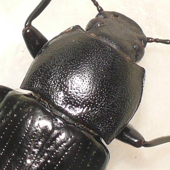 Darkling beetle (2) - Centronopus calcaratus - female