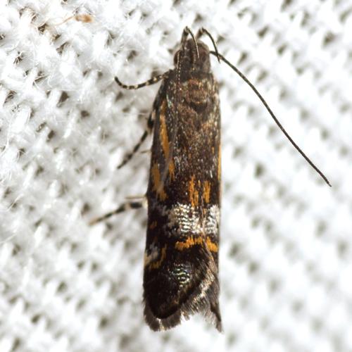 Undescribed Anacampsis Moth - Anacampsis