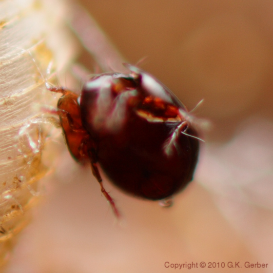 Mites on Snail Shell