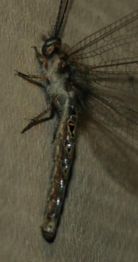 Owlfly - Ululodes macleayanus