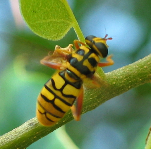 Yellow Jacket Hoverfly - Milesia virginiensis - female