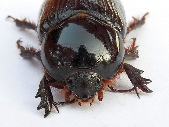 Pennsylvania Beetle  - Xyloryctes jamaicensis - female