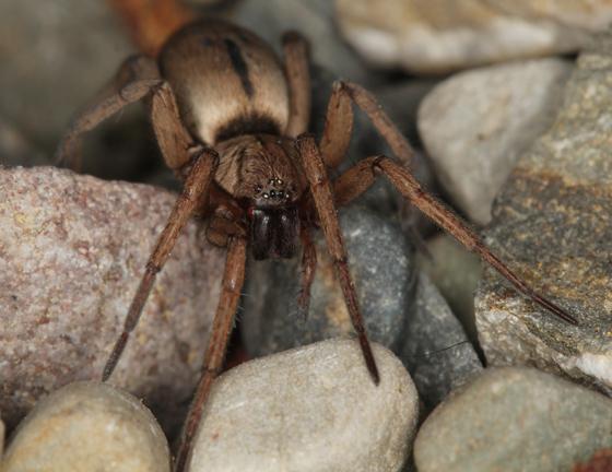 brown ground spider - Drassodes neglectus