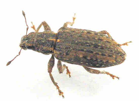 Weevil --? - Sitona californius
