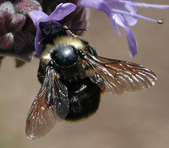 Bombus sp. - Bombus californicus - female