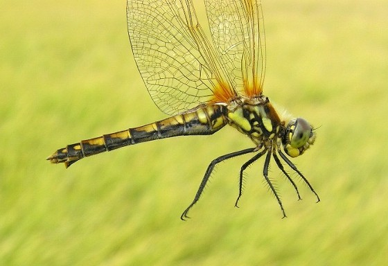 Black Meadowhawk - Sympetrum danae - female
