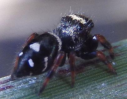 black jumper - Phidippus regius