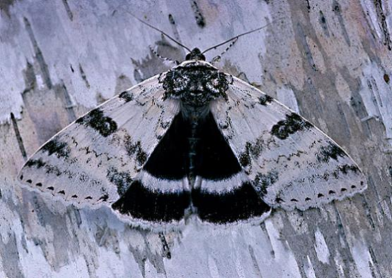 White Underwing - Catocala relicta - female