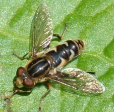 Hover Fly (Lejops) - Lejops