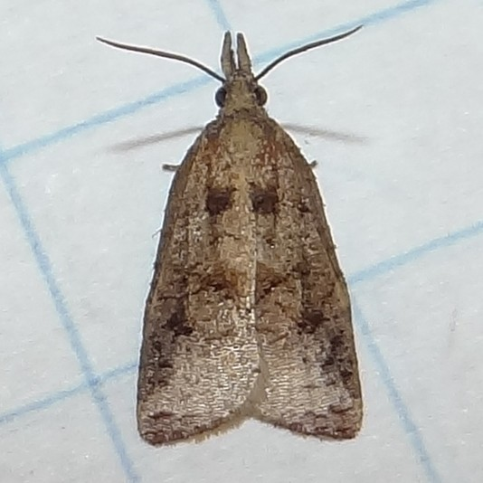 Distinctive Moth - Completely Stumped - Platynota