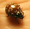 Eye-spotted lady bug - Anatis mali
