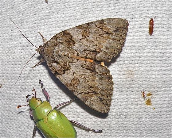 Underwing Moth - Catocala neogama