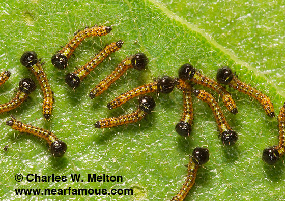 Recently hatched larvae. - Schizura biedermani