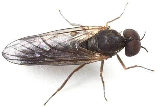 hump-backed fly - Axymyia furcata - male