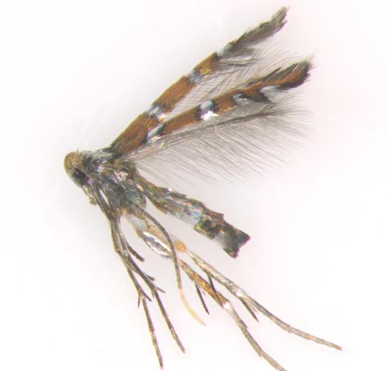 Porphyrosela desmodiella