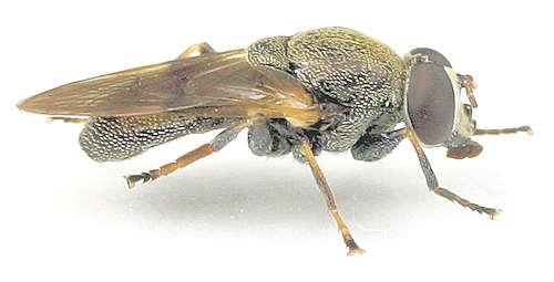 Myolepta --? - Myolepta strigilata - male
