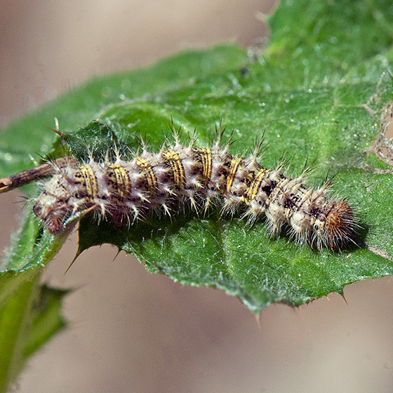painted lady butterfly caterpillar - photo #10