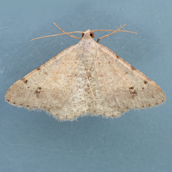 Moth for ID - Digrammia delectata