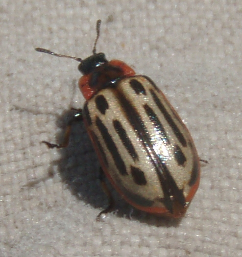 Cottonwood Leaf Beetle - Chrysomela scripta
