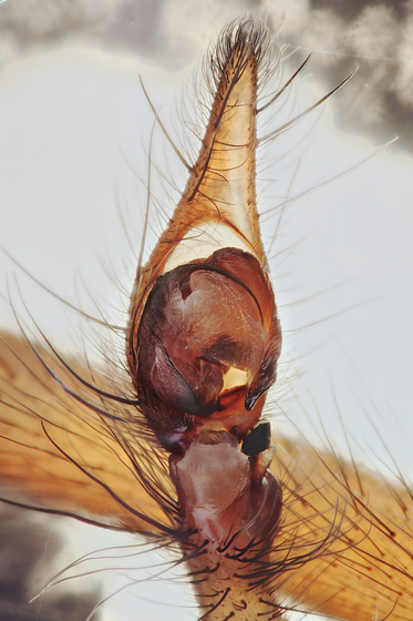 Adult male - Eratigena atrica - male