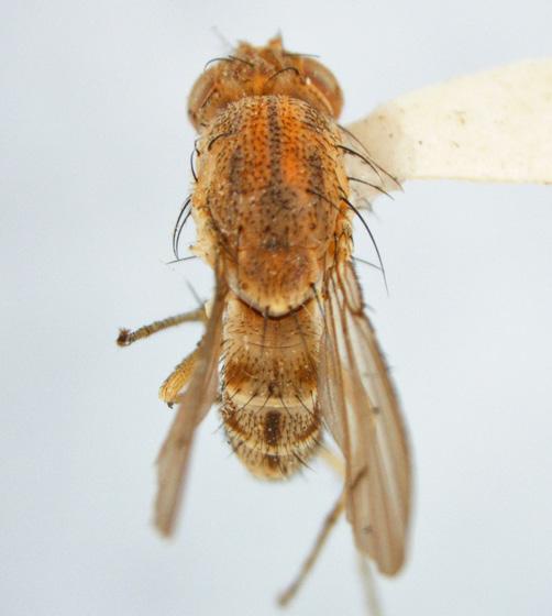 Curtonotidae-Curtonotum helvum (Loew) - Curtonotum helvum