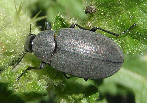possible darkling beetle - Bothrotes